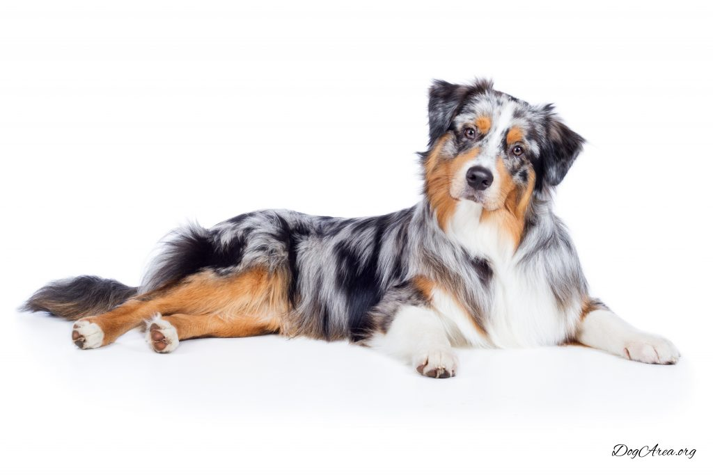 18 Precious Things To Learn About The Teacup Australian Shepherd Dogarea